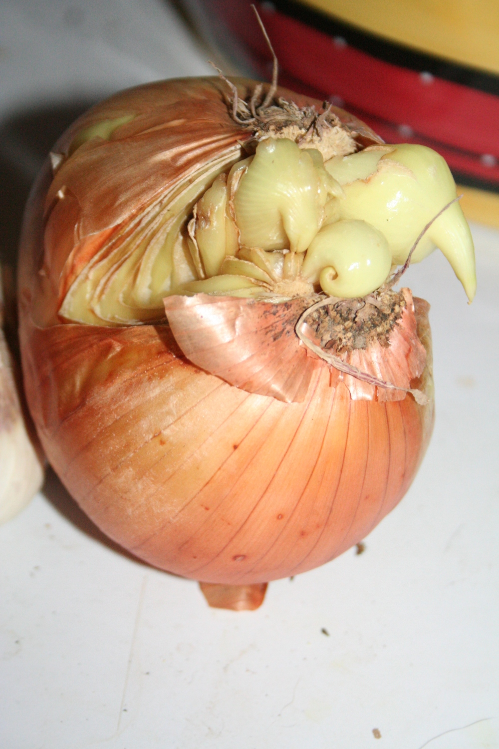 A fanged onion