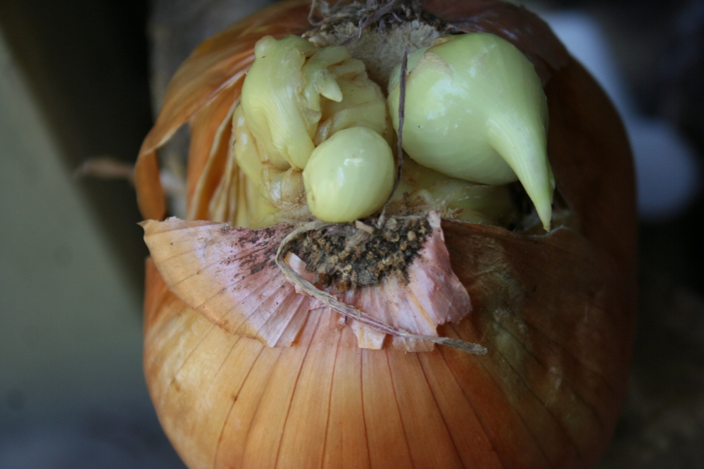 Halloween Mr. Onion face