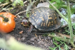 Early tomato breakfast for the eastern box turtle
