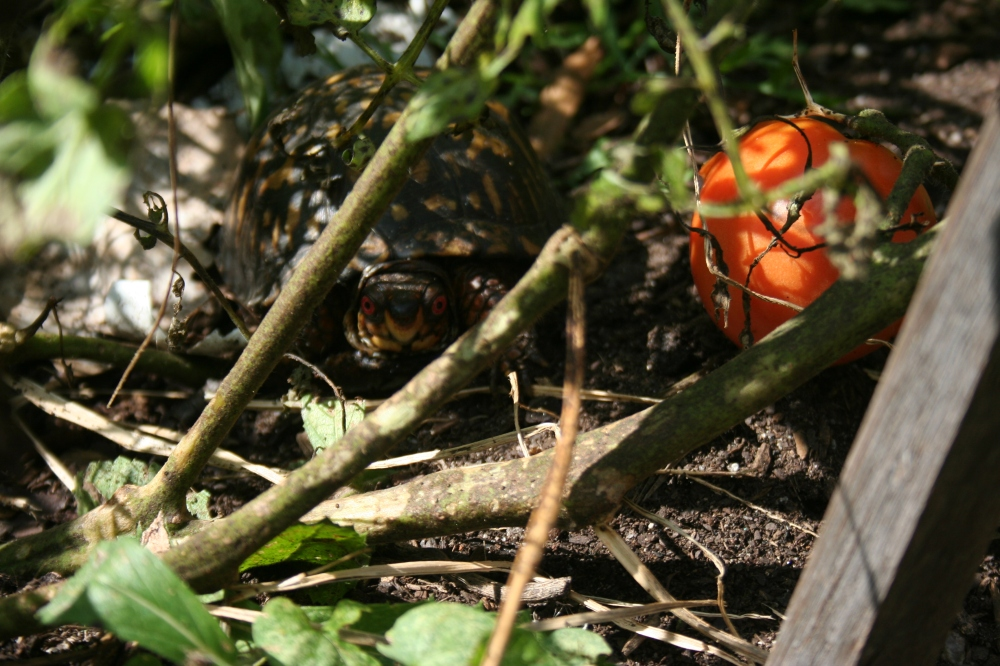 Eastern male box turtle dining on a yummy tomato