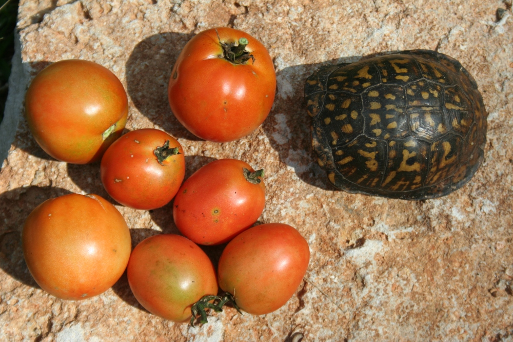 My tomatoes...not Mr. Turtle's