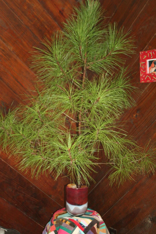 Our GA pine Charlie Brown Christmas tree