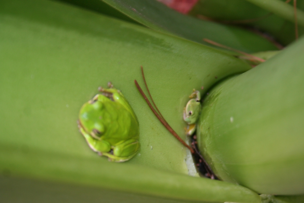 Tree frogs in elephant ear plant