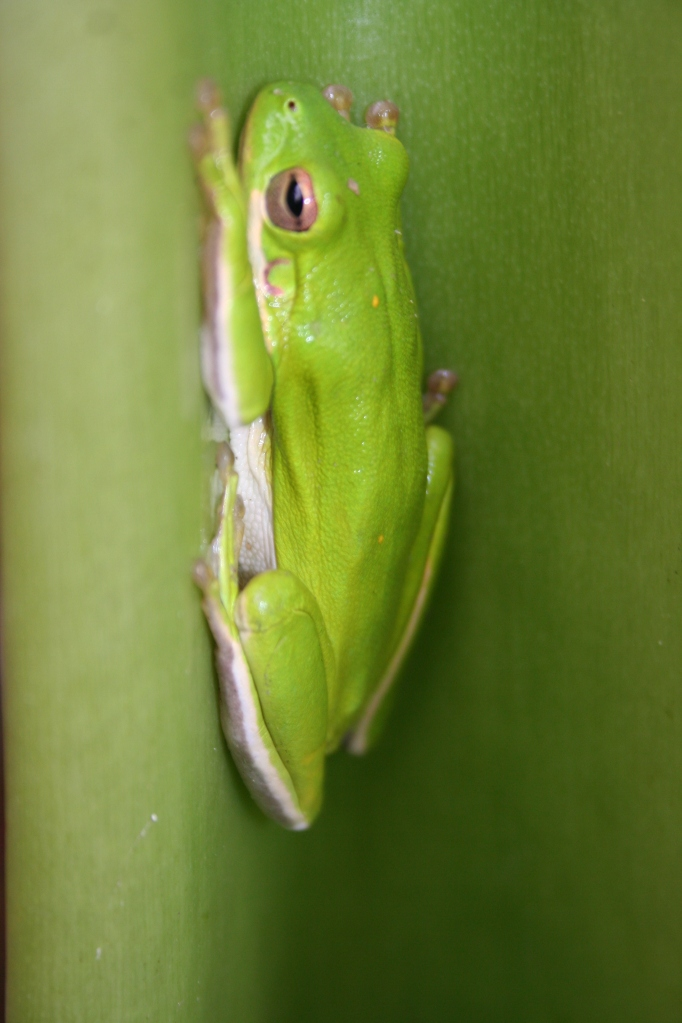 Treefrog with yellow spots