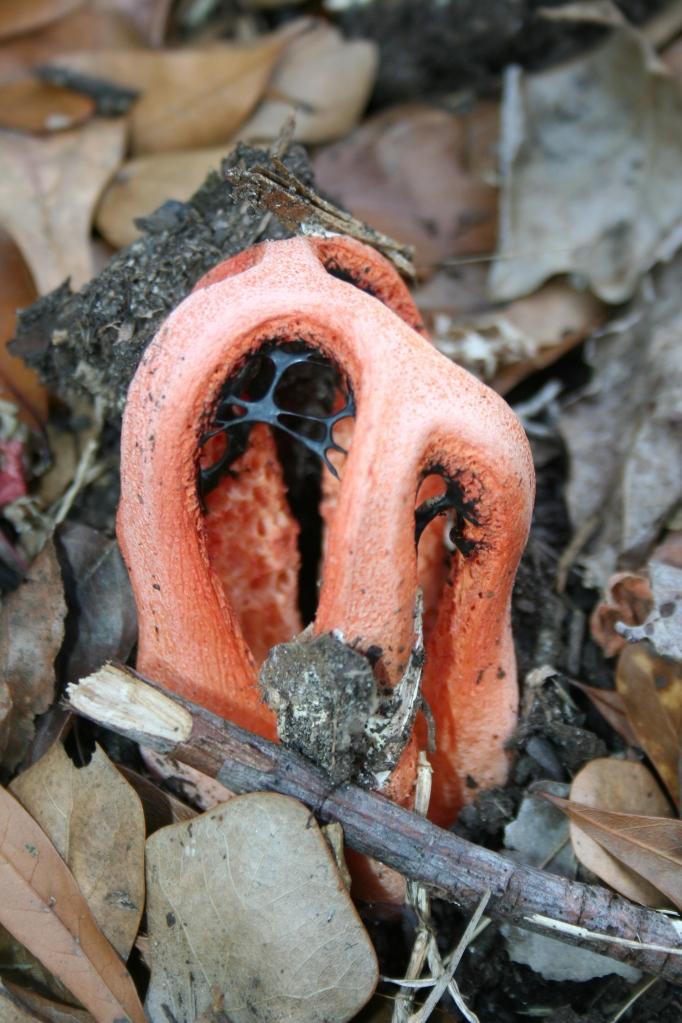 A Stinkhorn Mushroom