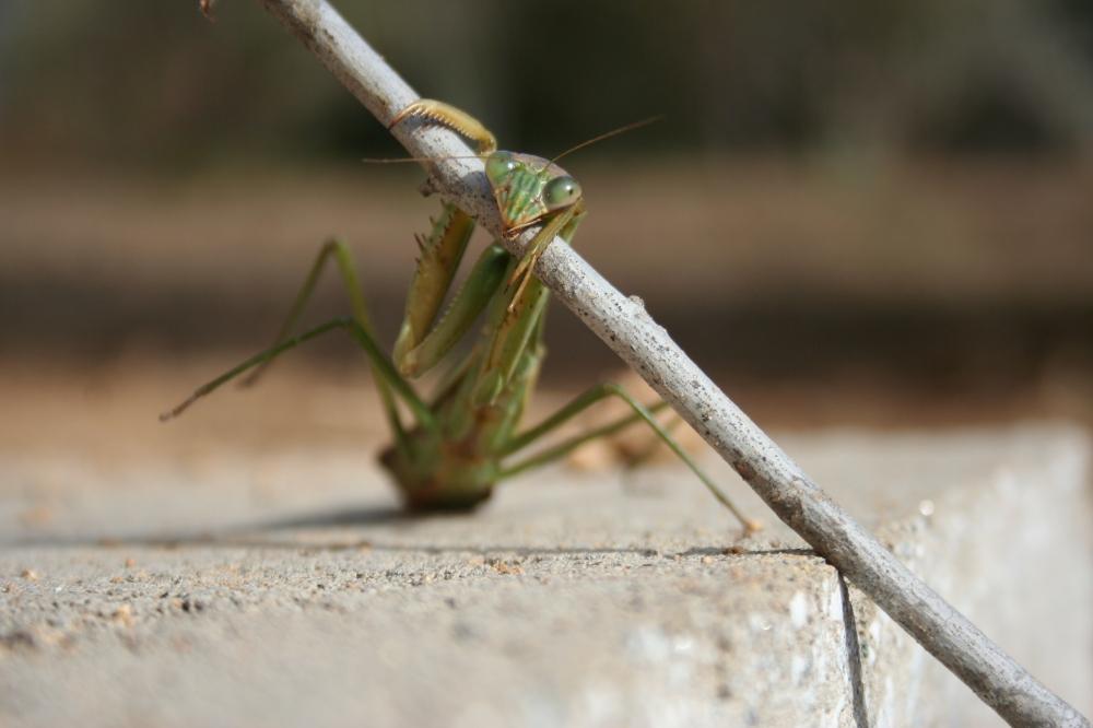 Female Praying Mantis