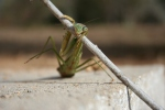Female Praying Mantis