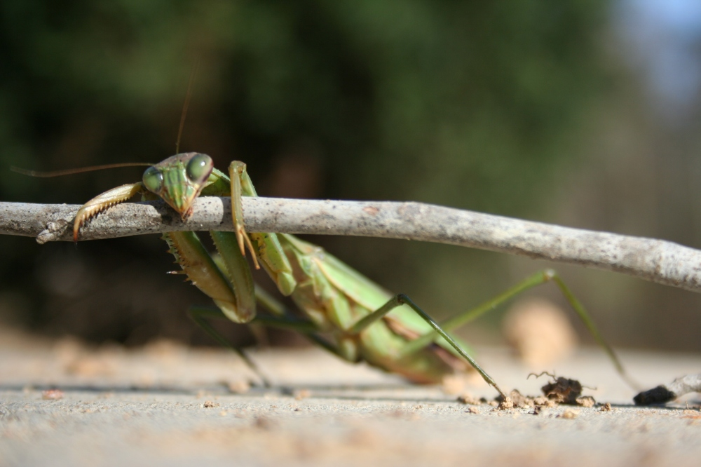Relax with a female praying mantis