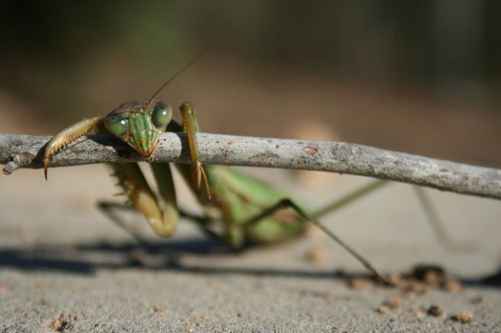 Chillin' Praying Mantis