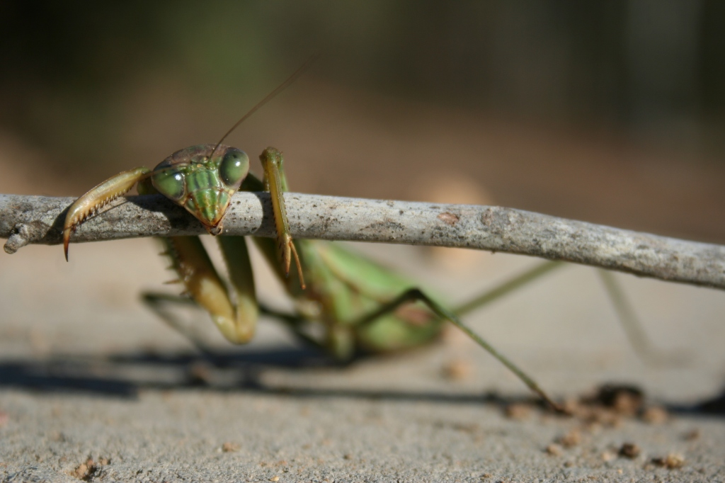 Chillin' Praying Mantis