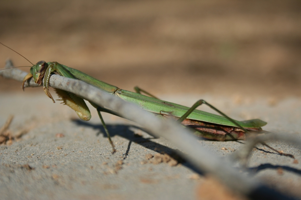 Sunning Praying Mantis