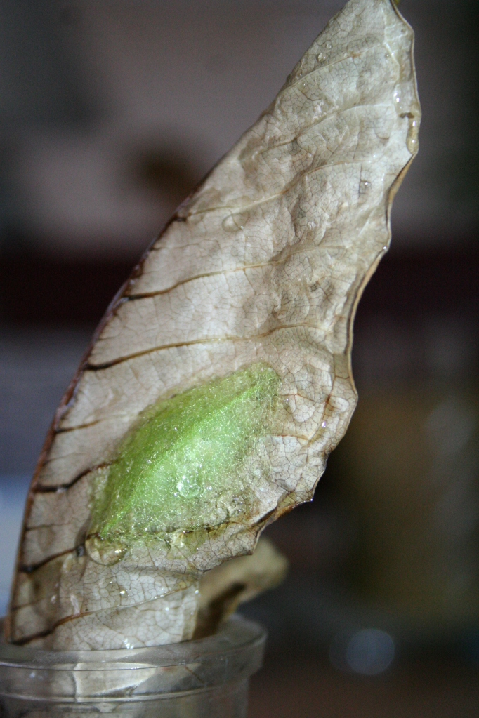 Bright green cocoon formed by a crab spider