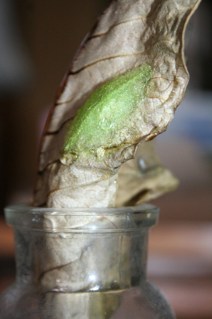Crab Spider cocoon on plumeria leaf