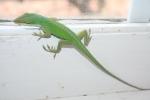 Our vet's office lizard pet