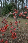 Japanese persimmon tree laden with fruit