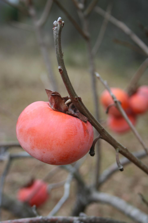 ripe Japanese persimmon