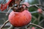 Plump ripe Japanese persimmon
