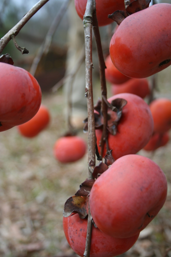 Low hanging fruit: the Japanese persimmon