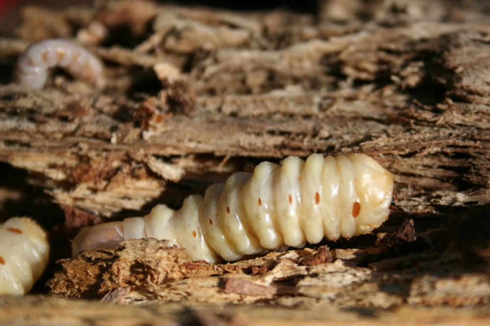 Hickory tree feeders:The Round Headed Borers larva