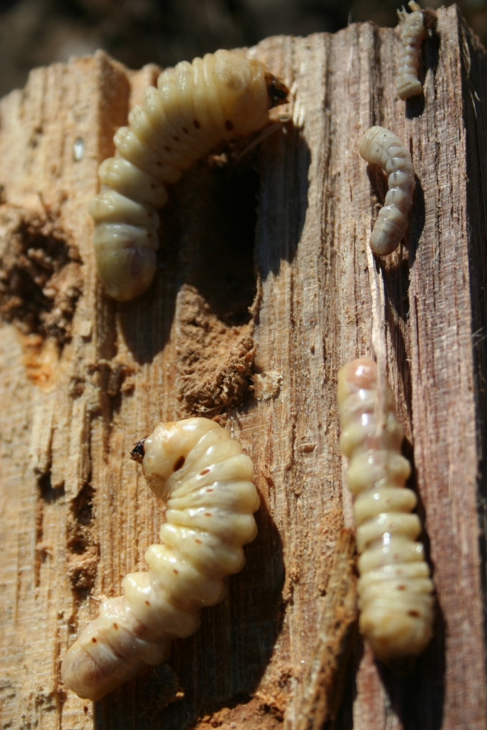 All sized Round Headed Borers larva