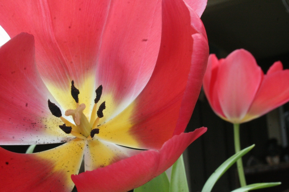 Yellow center Tulip in Red
