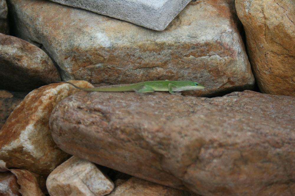 I spy a lizard!