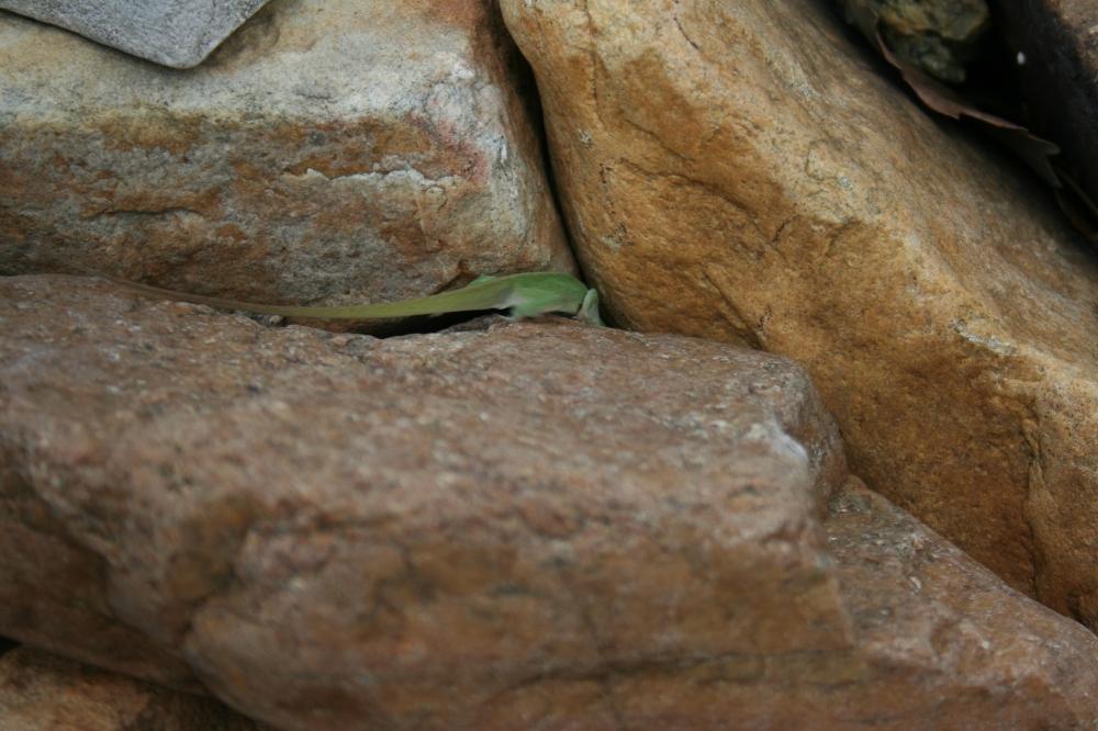 Shy lizard