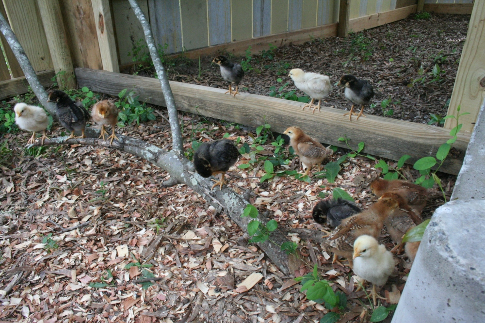 Brave growing chicks