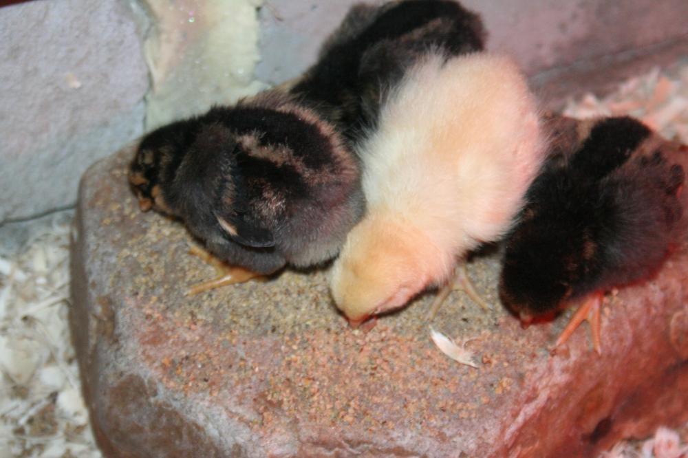 Chick snuggle