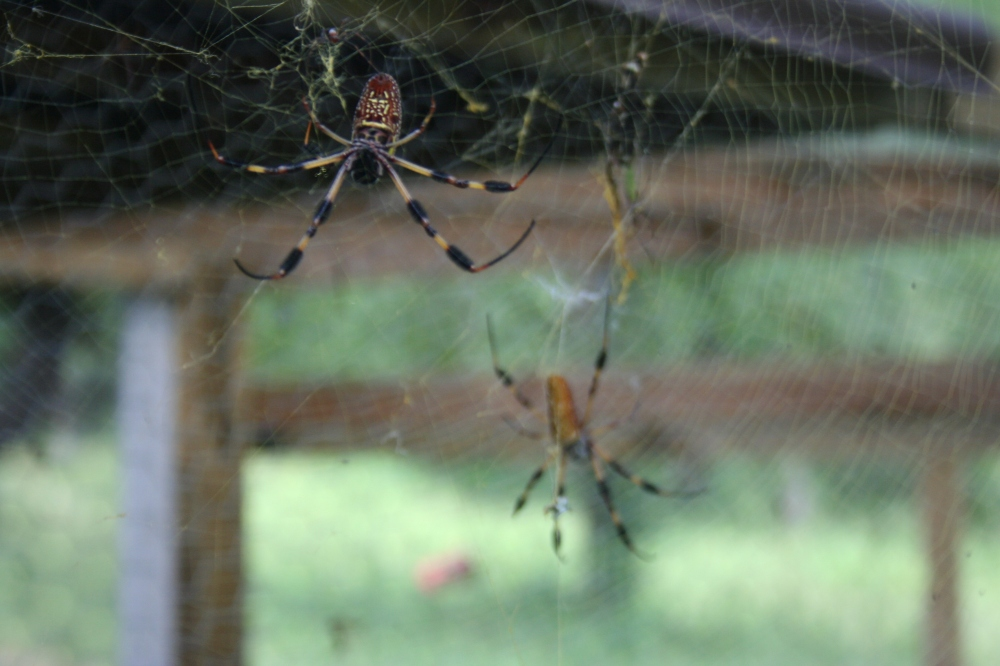These two garden spiders has been eaten